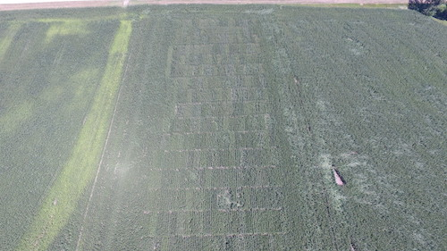 Corn plot at Sully, IA [IAEC] showing some damage after the severe windstorm, August 10, 2020.